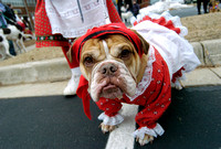 Addie, a three-year-old English Bulldog and her owner, Gisela Holtz, from St. Joseph, join hundreds of dogs as they wait for the start of the annual Reindog Parade Saturday, December 1, 2007, in downt