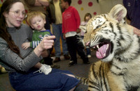 Don Campbell / H-P staff Dawn Beutner, and her one-year-old son John, take a close-up look at Tamara, a 50 pound, six-month-old Siberian Tiger, Saturday afternoon at Curious Kids in St. Joseph. Staff