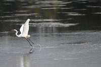 Don Campbell / H-P Staff An egret takes flight while hunting at Maple Lake in Paw Paw this past week.