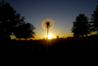 Don Campbell / H-P staff The sun sets on a lone dandelion Wednesday, October 3, 2007, along Hollywood Road in St. Joseph.