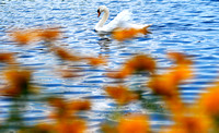 Don Campbell / H-P staff A mute swan makes its way through the waters of Maple Lake in Paw Paw Wednesday, July 23, 2008.