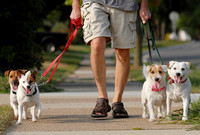 Ray Sanders, from St. Joseph, walks his Jack Russell Terriers, from left to right, Porthos, Mercedes, Sabrina and Emmy, along Morton Avenue in St. Joseph Wednesday, September 3, 2008.