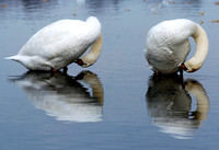 Don Campbell / H-P staff A pair of swans are reflected in the waters of Maple Lake in Paw Paw, Wednesday, October 8, 2006.