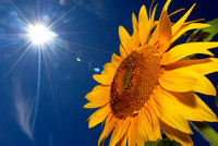 The sun shines down on a sunflower along John Beers Road in Stevensville, Saturday, August 16, 2008.